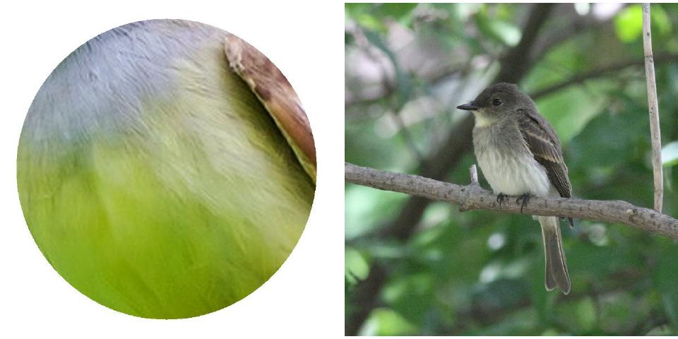 Left Image: Great Crested Flycatcher.2017 Jennifer Hoffman                     Right Image:Eastern Phoebe. Photograph: Geoffrey Williamson 2017