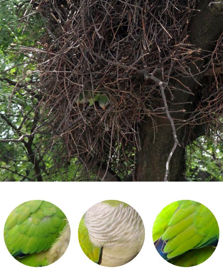 Monk Parakeet nest. Photograph: Geoffrey Williamson 2017 Monk Parakeets.2017 Jennifer Hoffman