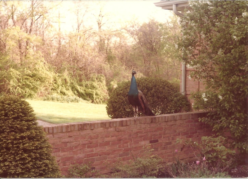 Visiting Easter male peacock in my grandparents' courtyard.