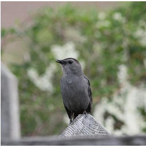 Gray Catbird. Photograph: Geoffrey Williamson 2017