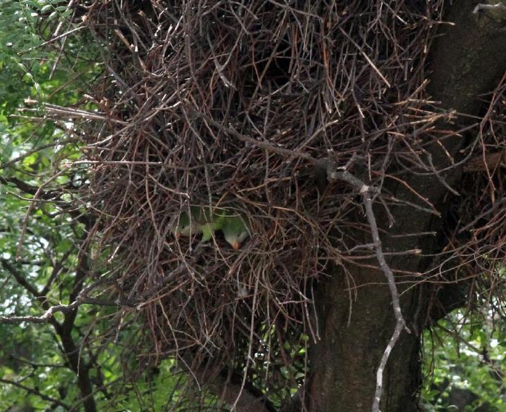 Monk Parakeet nest. Photograph: Geoffrey Williamson 2017