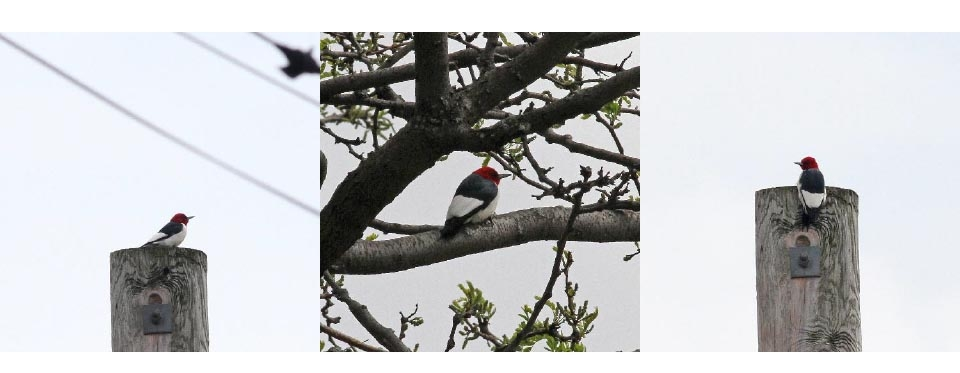Top: Red-headed Woodpecker Photographs: Geoffrey Williamson 2017