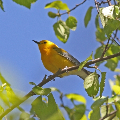 Prothonotary Warbler. Photograph: Geoffrey Williamson 2017
