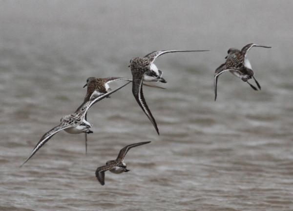 Shorebirds. Photograph: Geoffrey Williamson 2017