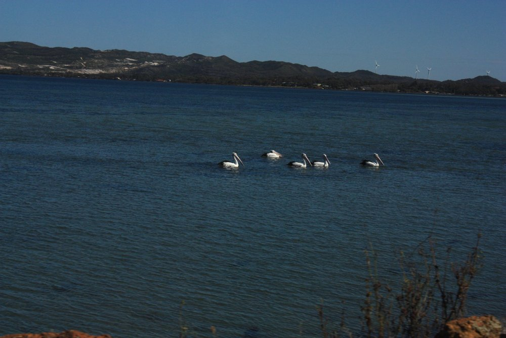 Pelicans.jpg