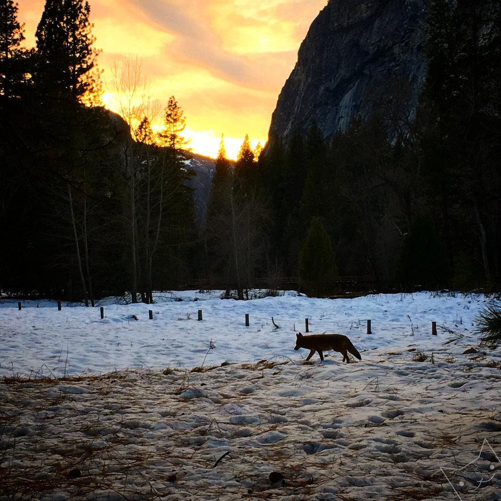 Lonley Coyote