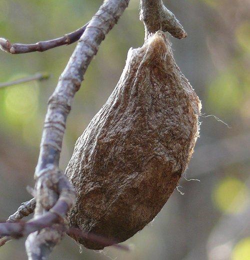 Cecropia moth cocoon.