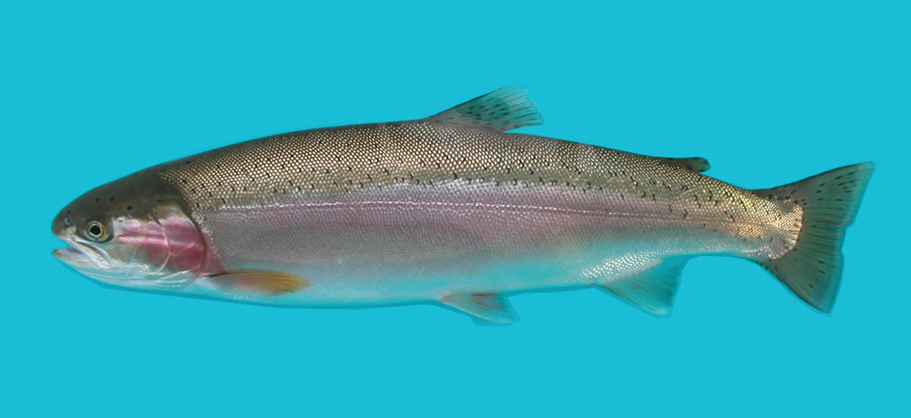 Pennask Lake Rainbow Trout
