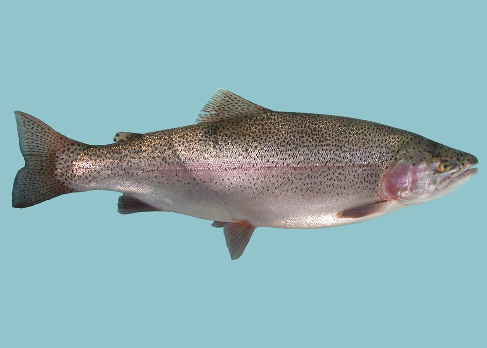 Fraser Valley Domesticated Rainbow Trout