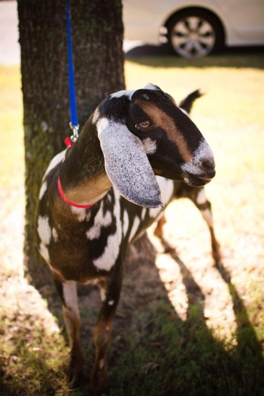The goat was a huge hit!  She (he?) didn't have a name yet so I named her Spotty Dotty, like the lady bug from Fuzzy Bee and Friends.