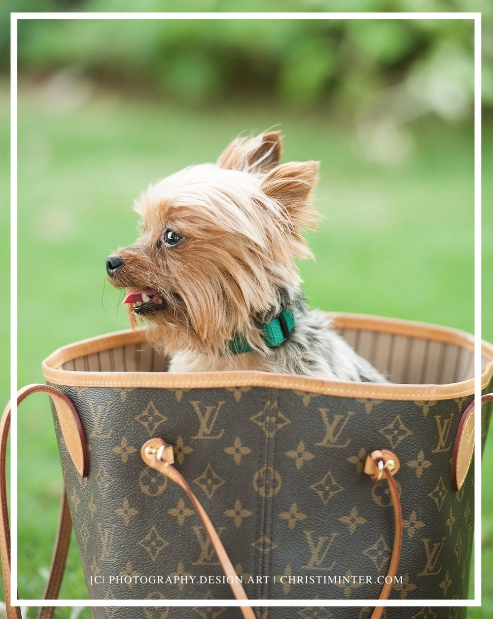 yorkie+dogs+christiminter.com+louis+vuitton+photography+design+vibrant+life+photographer