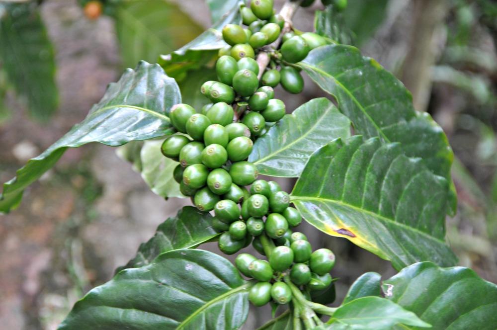 Coffee on the Tree