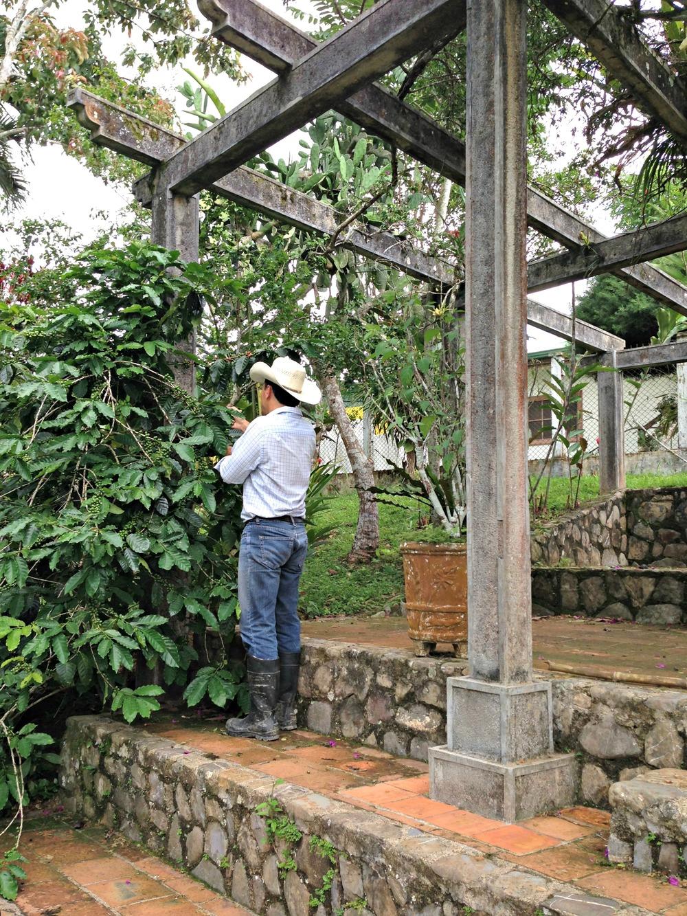 Carlos looking for ripe berries