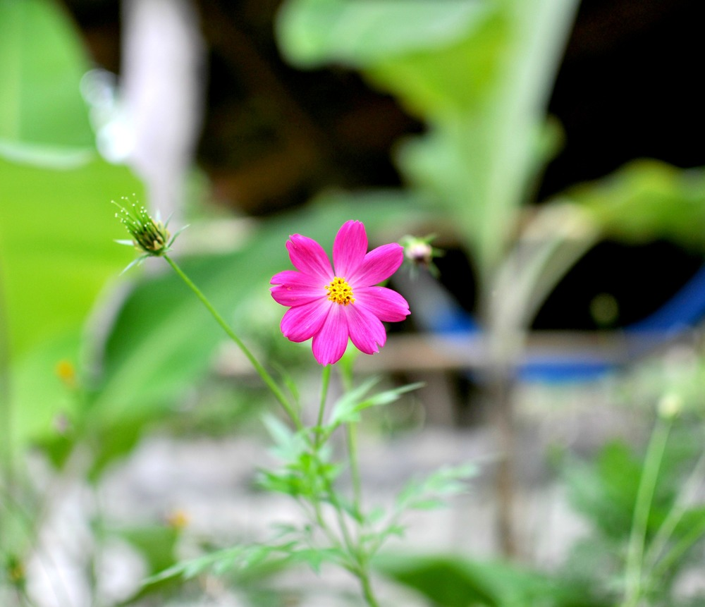 Pink Flower at San Lucas