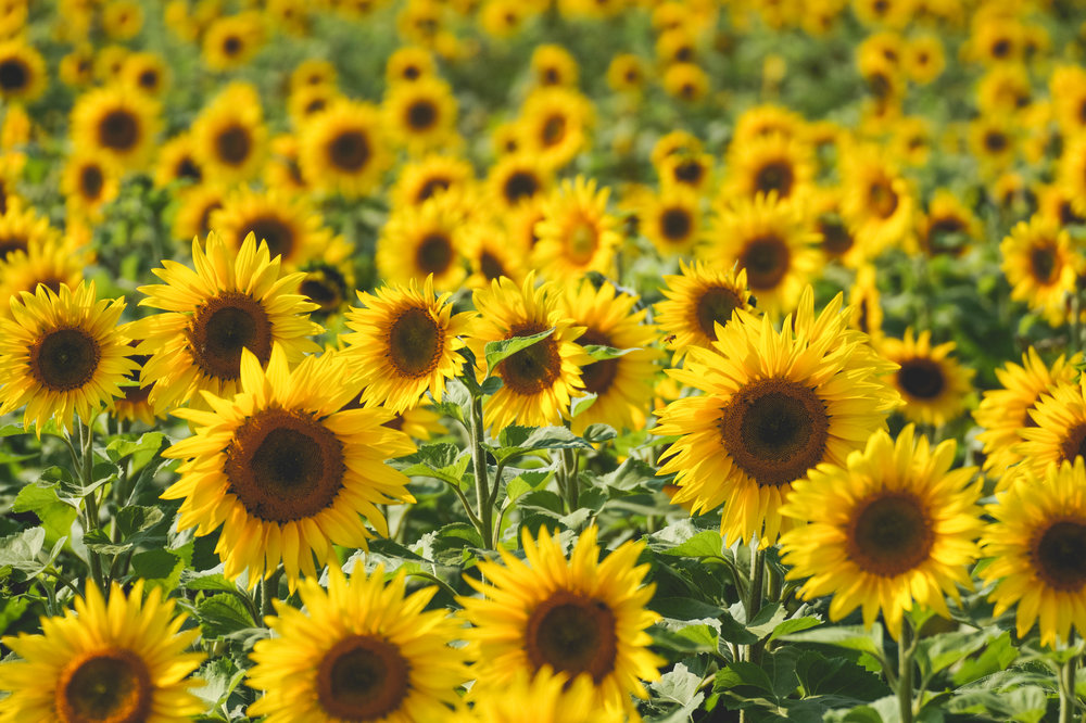 Sunflowers at Maria's Field of Hope!
