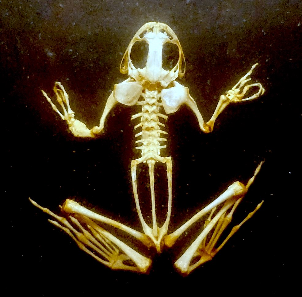 FrogSkeleton.JPG