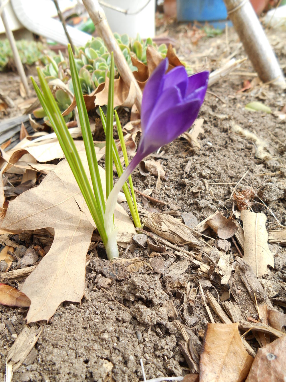 How did these crocus bulbs escape the squirrels?