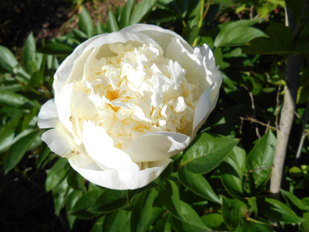 White peonies May 25 _14 001.JPG