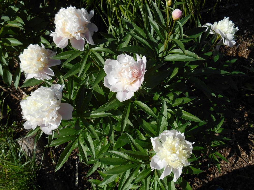 White peonies May 25 _14 002.JPG