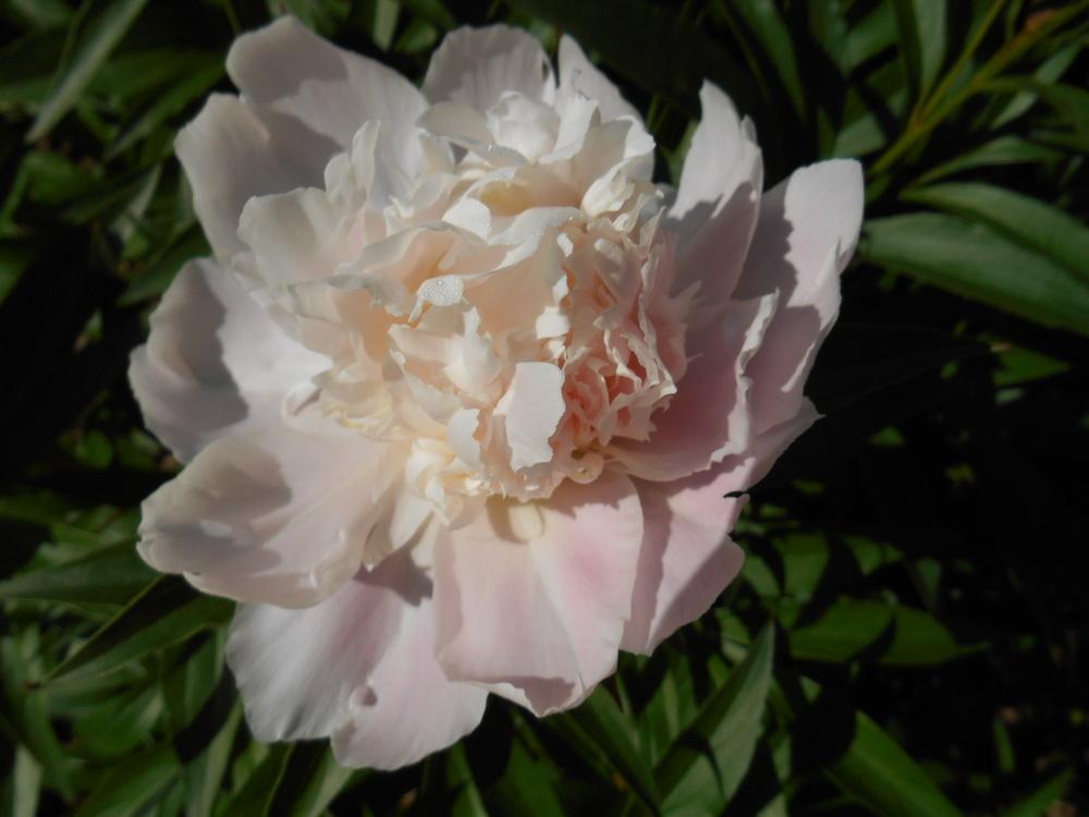 White peonies May 25 _14 003.JPG