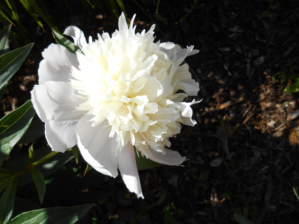 White peonies May 25 _14 004.JPG