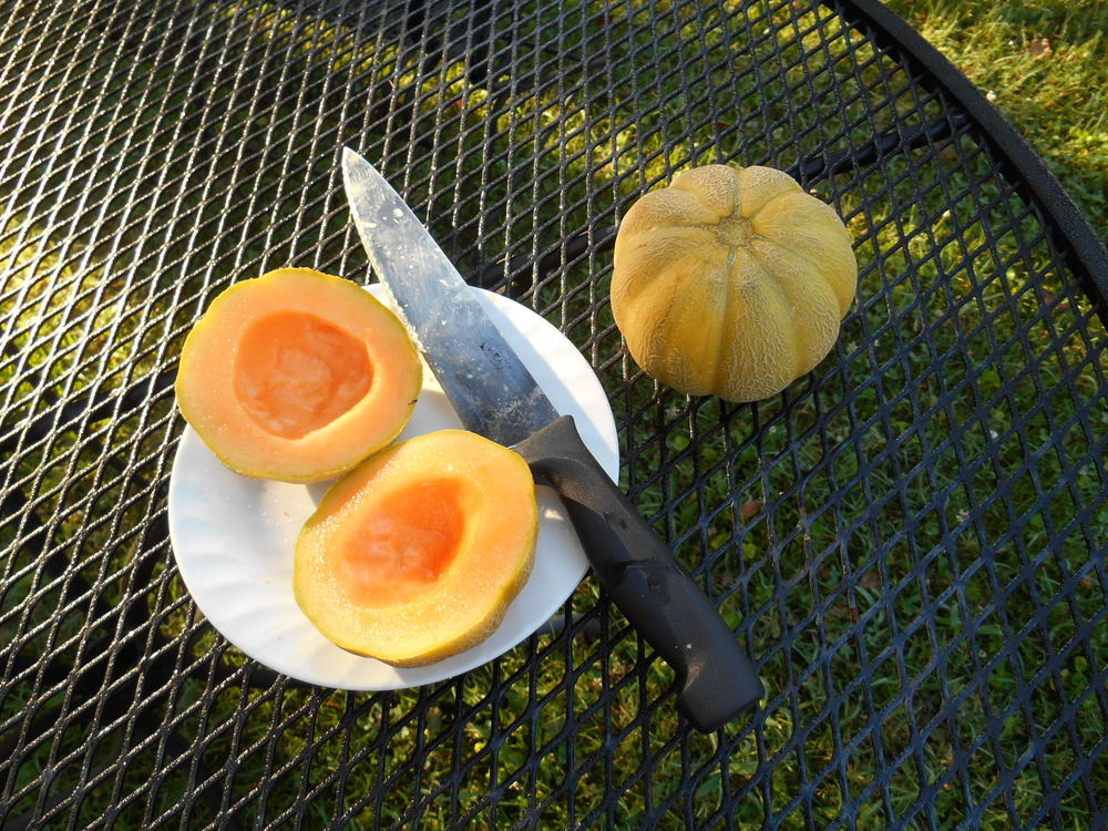 "In March I bought a little packet of seeds from Weeks Seed Company, Greenville SC - at our local Farmers Coop. ""Minnesota MIdget Cantaloupe"" ... and found 2 perfectly ripe tiny golden fruit under the flourishing green vine last evening. My kitchen is filled with the perfume this morning ...delicious. Saving the seeds, and hope they come true next year!"