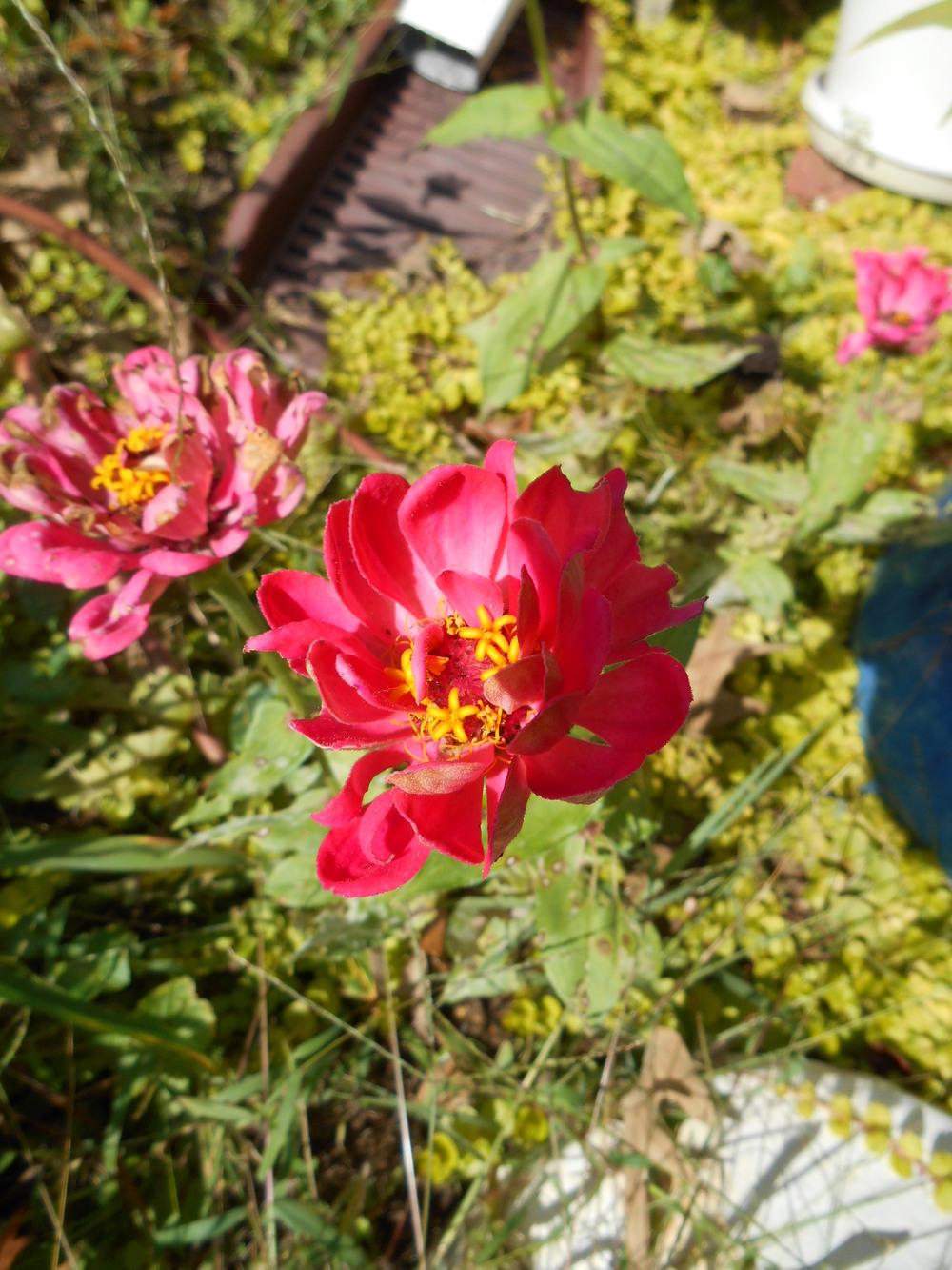 oct 18 flowers 008.JPG