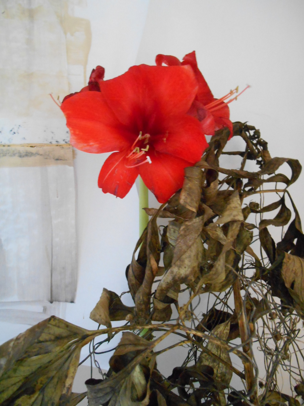 Amaryllis jan 2016 004.JPG