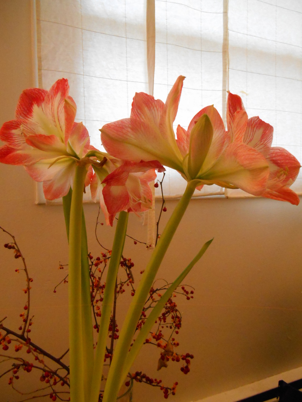 Amaryllis jan 2016 002.JPG