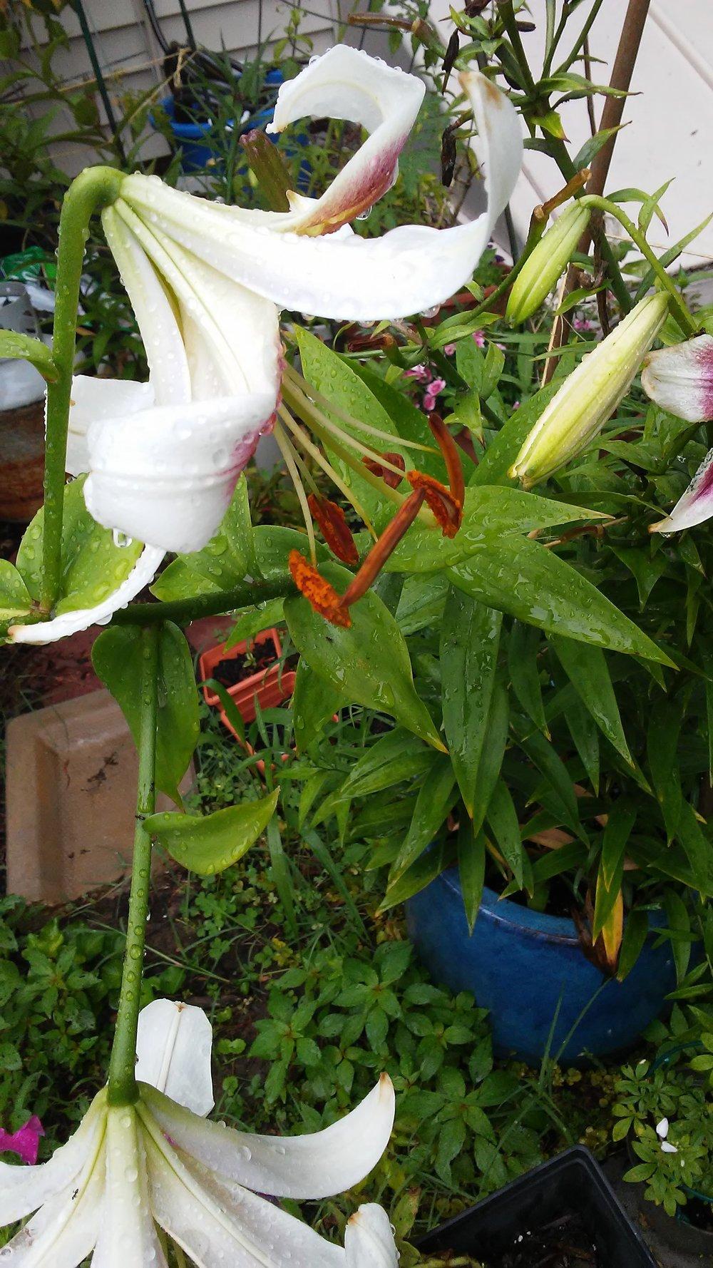 Lilies July 2017 004.jpg