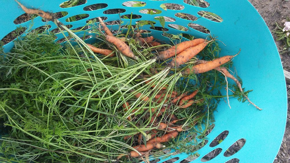 Despite great heat in August, and only occasional rain, this morning I dug a great harvest of delicious carrots, sown in April from a 50 cent packet of seeds. Grateful!