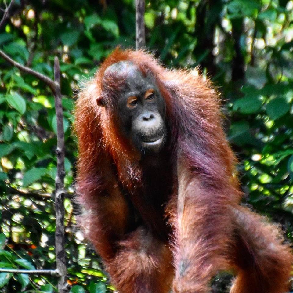 Orangutan, Indonesian Borneo