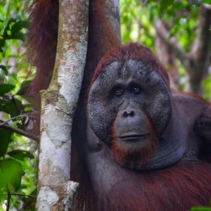 OranguTANs, Indonesian Borneo