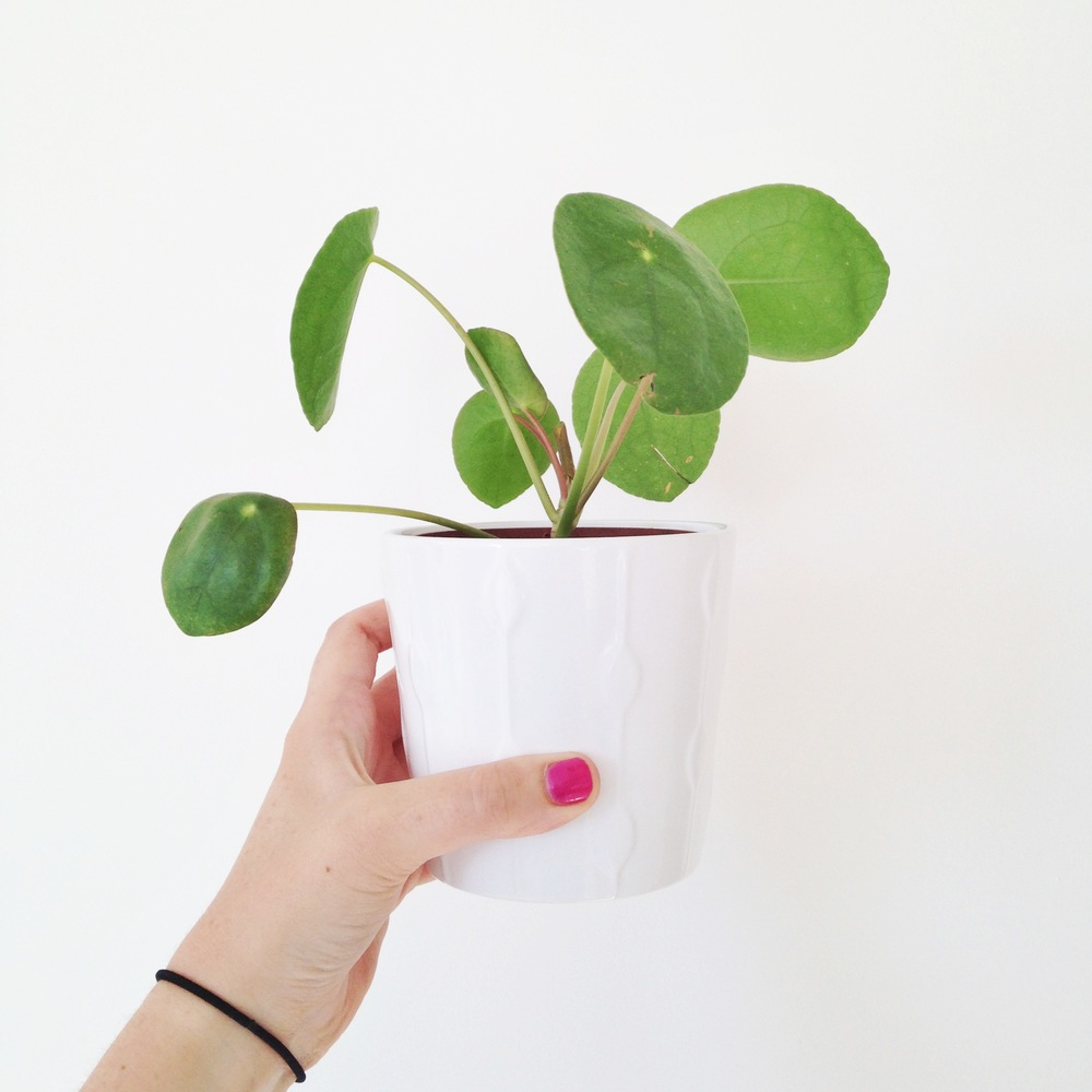 3//. this little plant for being nestled in a charity shop waiting for me - its a  pilea pepperomioides  and its ever so pretty!