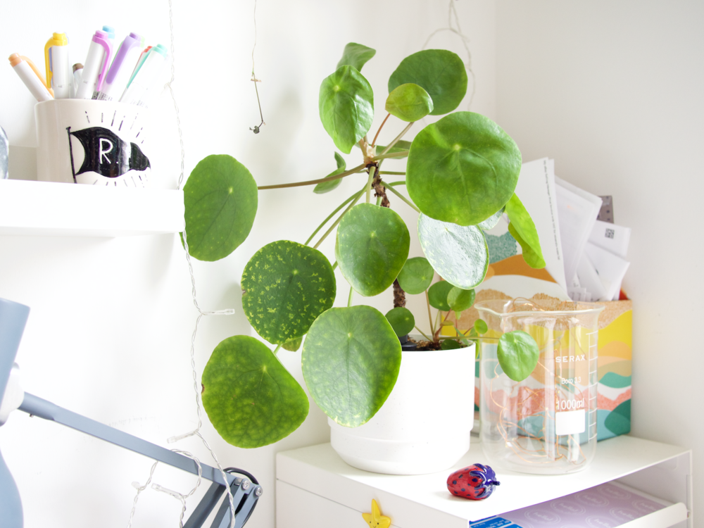 5 forgiving houseplants | pilea peperomioides | onr. blog