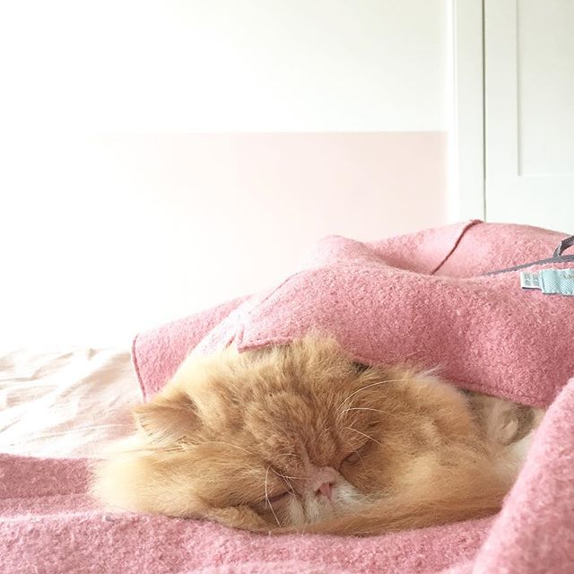 Momo is the king of making himself into a cosy 'purrito'. I put my coat on the bed for 2 minutes & came back to hang it up to find this beast snuggled inside it! @boden_clothing have you considered making perfect pink cat beds to match?? 😹🌯💕#purrito #littlemomopeach #bodenbyme