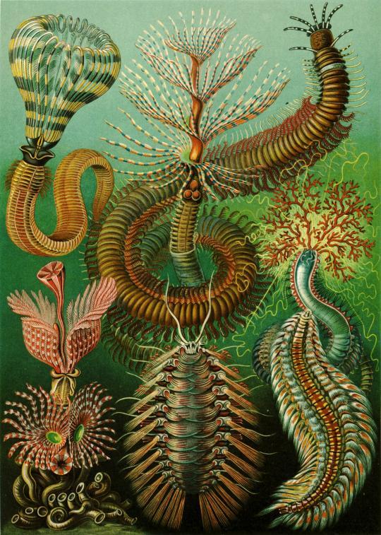 Ernst Haeckel's Chaetopoda, 1904