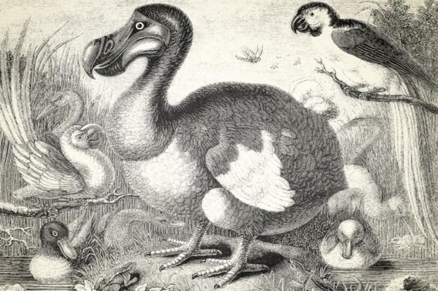 The dodo ( Raphus cucullatus ) (Credit: denisk0 via iStock )