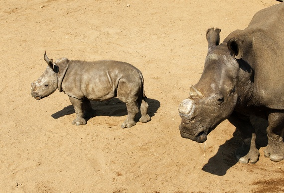White rhinos await buyers at the annual auction in the Hluhluwe-Imfolozi national park, September 2010. (Mike Hutchings/Reuters)