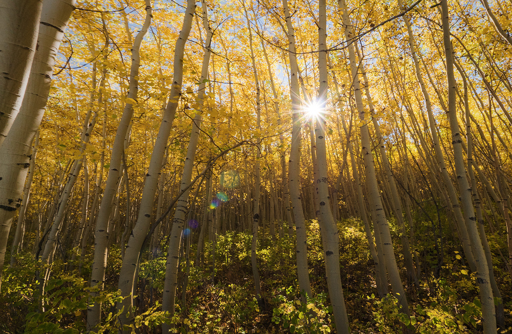 Aspen trees in the San Juan National Forest take on a striking yellow color in early fall.