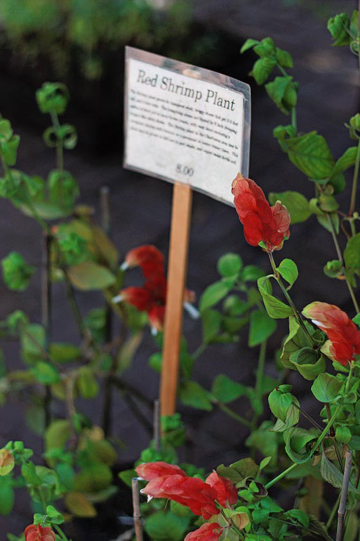 Charleston Farmer's Market on Marion Square - Red Shrimp Plant