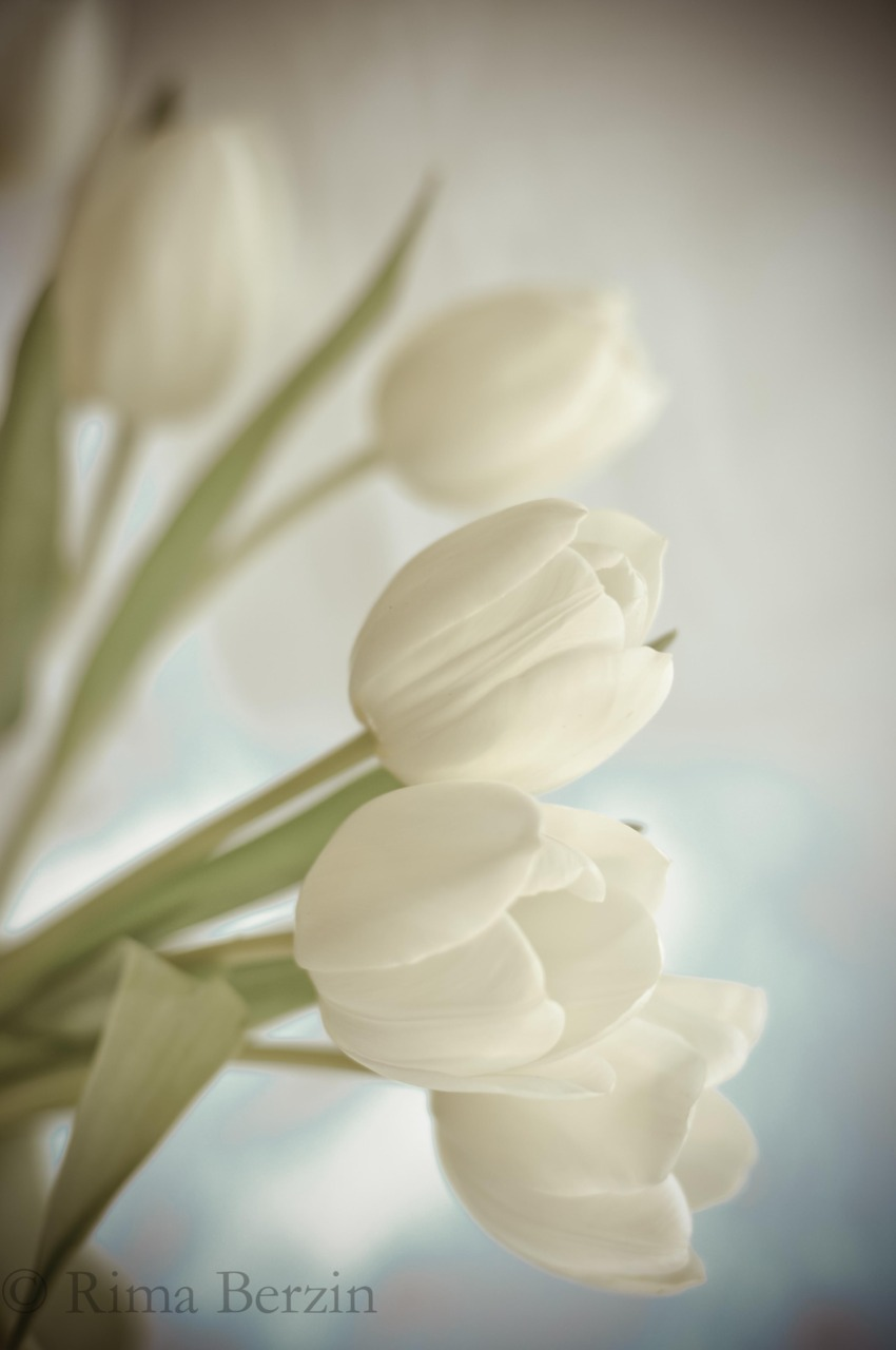 Morning peaceful… White tulips seen by my window.