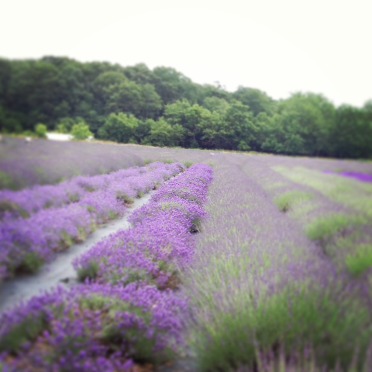 Lavender lavender lavender.  My love of nature. My blog and my Facebook page