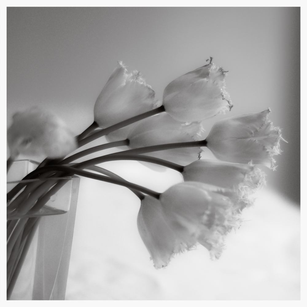 Tulips in Black and White    © Rima Berzin