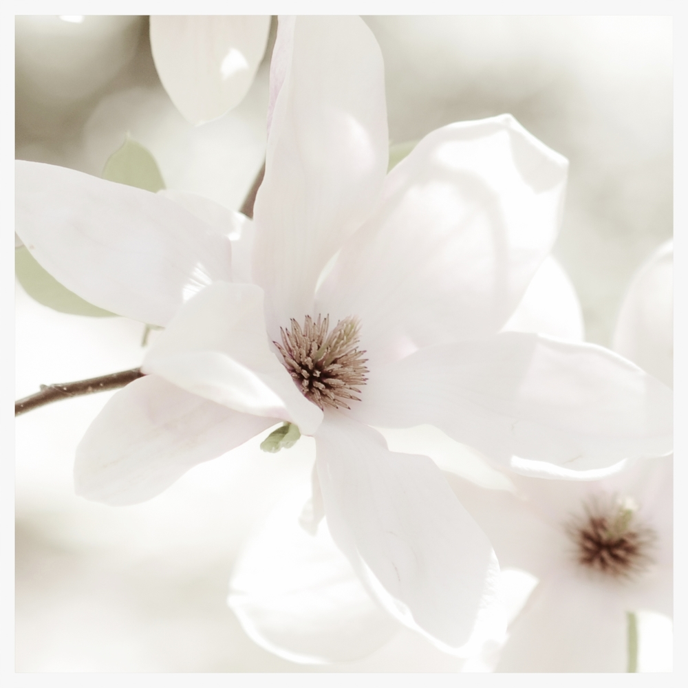 Light Washed Magnolia       © Rima Berzin