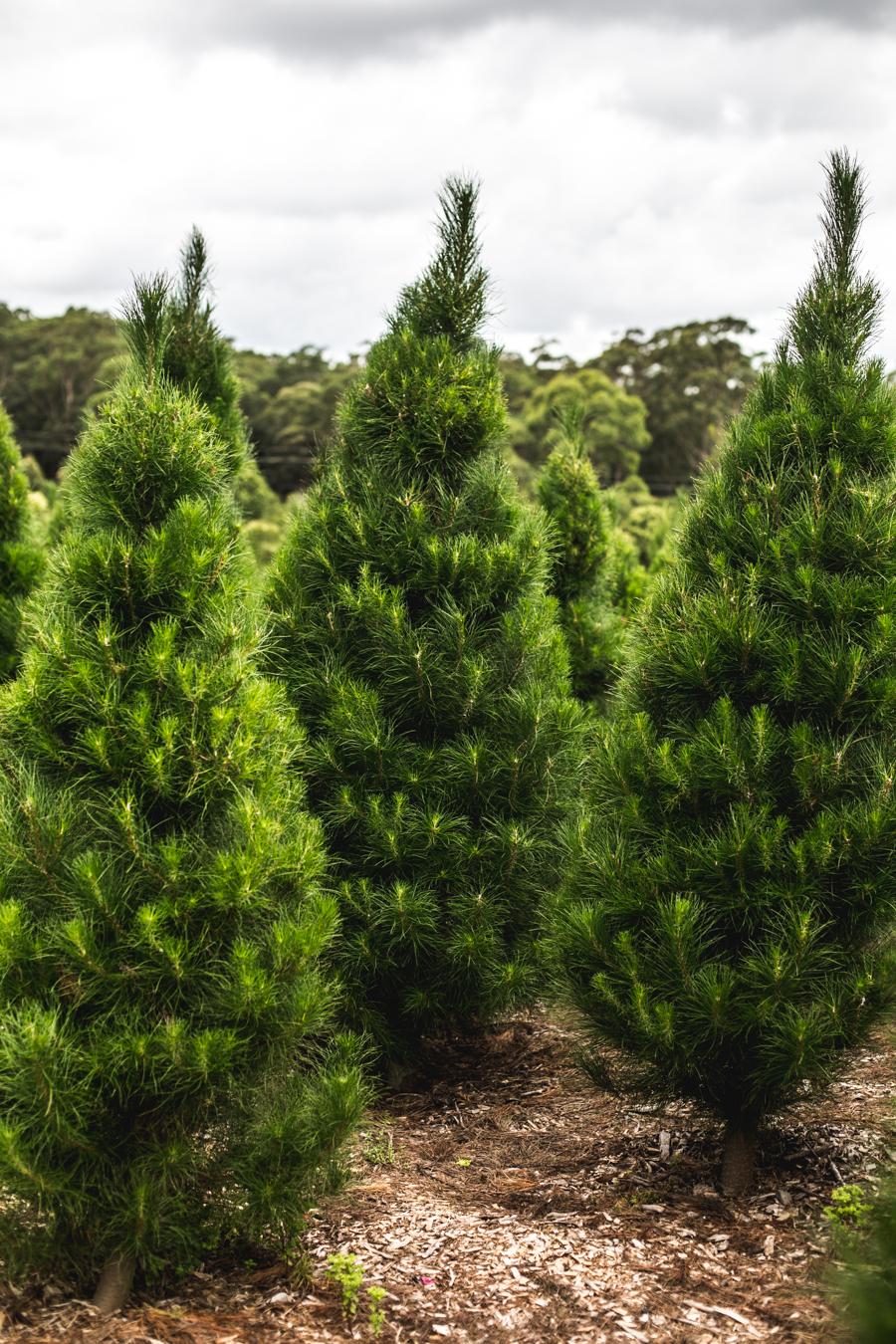 Christmas Tree Farm-8.jpg