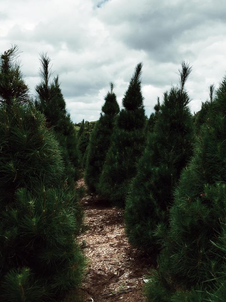 Christmas Tree Farm-15.jpg