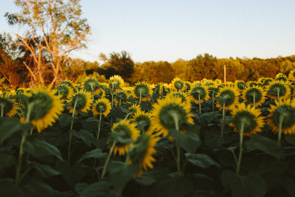Sunflower Field Grinter's Farm in Lawrence KS-39.JPG
