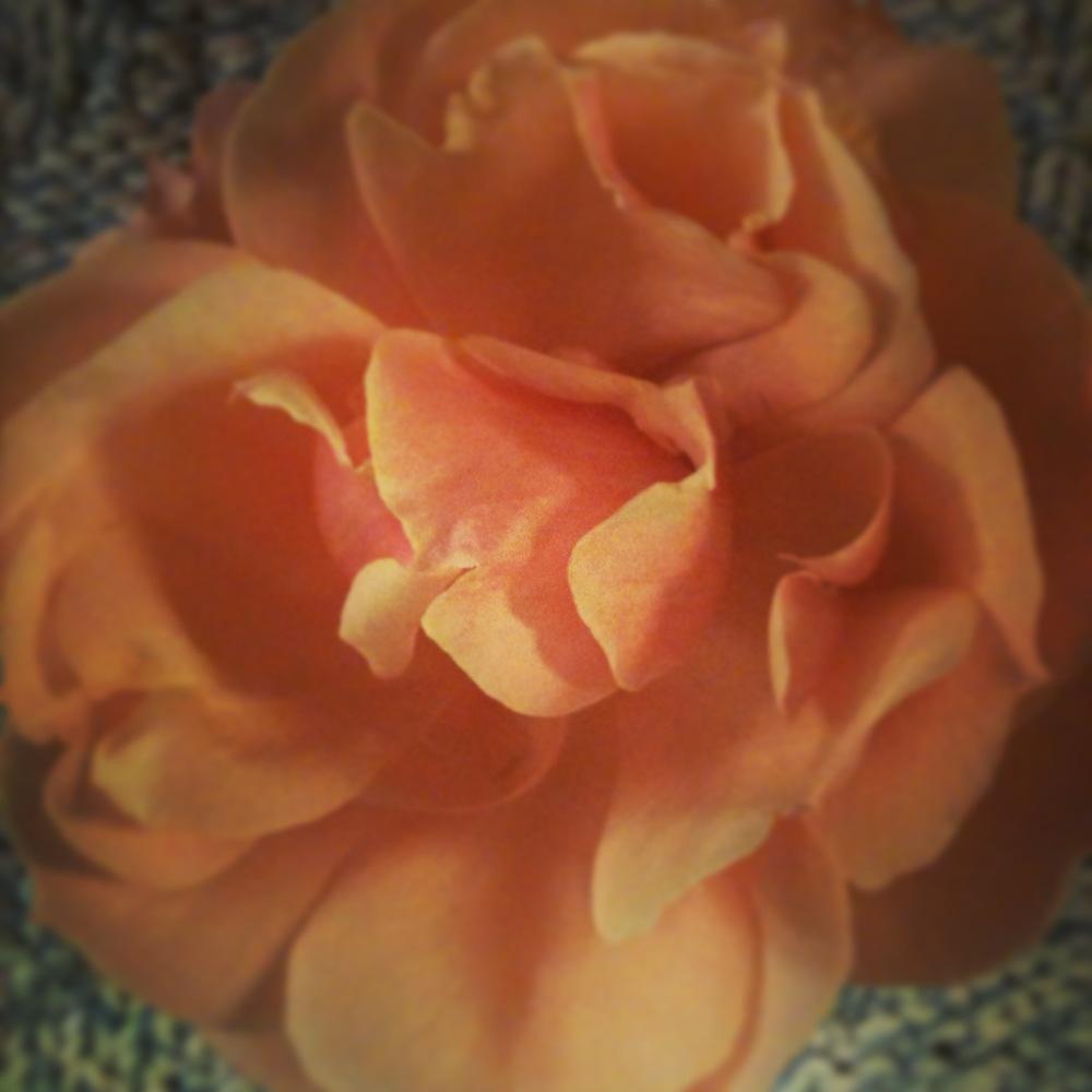 peachrose.JPG