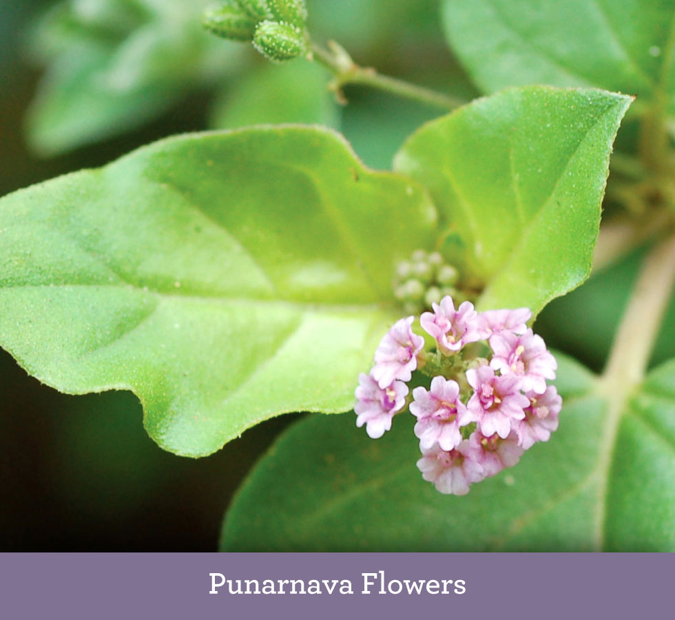 Punarnava Root - ...stands for rejuvinating the body....contains many soothing properties.